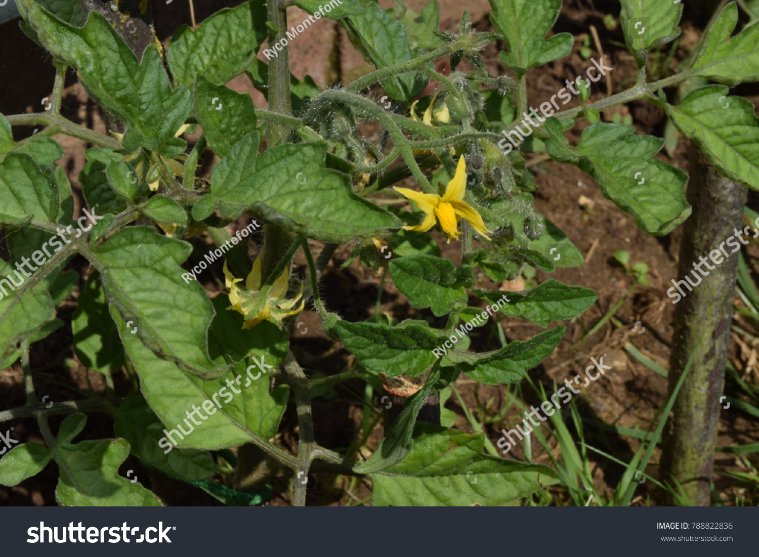 Small Bright Yellow Flower Growing On A Tomato Plant Ez Canvas