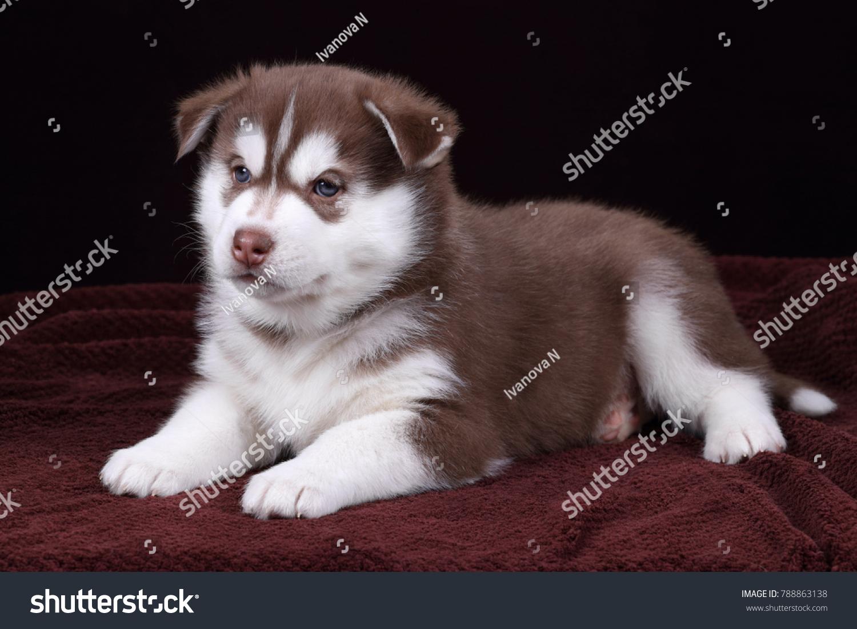 Cute Siberian Husky Puppy On Brown Stock Photo Edit Now 788863138