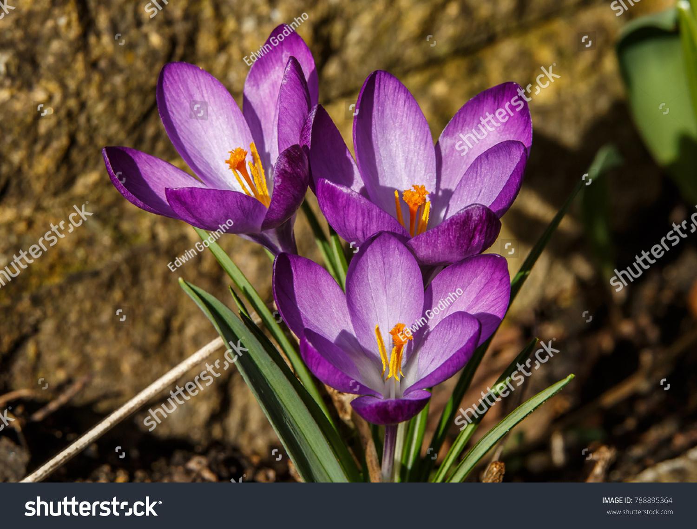 Crocus genus flowering plants iris family stock photo edit now crocus is a genus of flowering plants in the iris family comprising 90 species of perennials izmirmasajfo