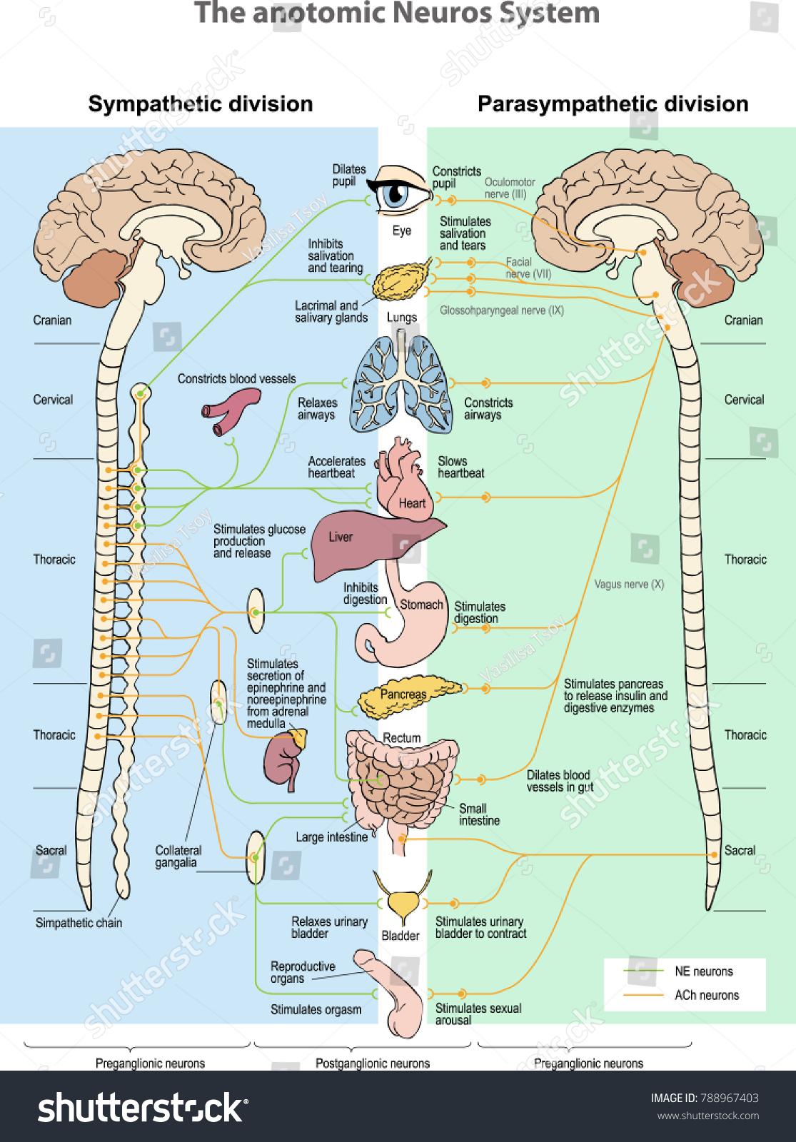 Anotomic Neuros System Sympathetic Division Parasympathetic Stock ...