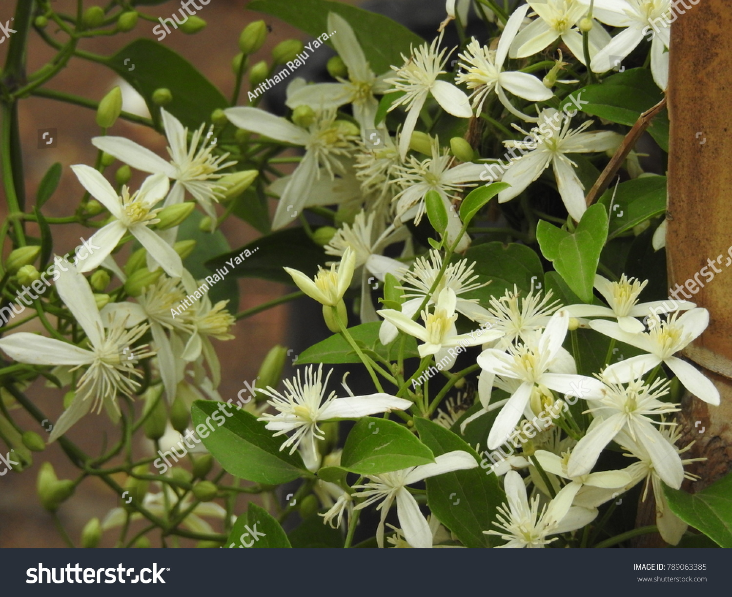 Clematis Vitalba Climbing Shrub Branched Grooved Stock Photo