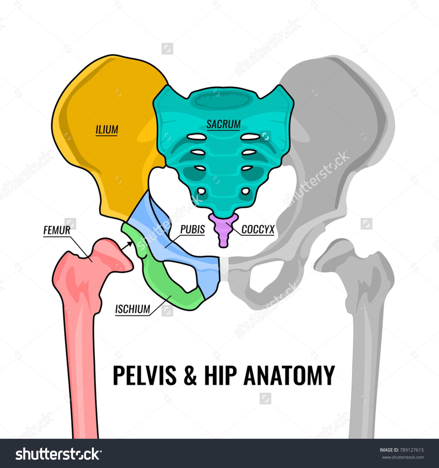 Human Male Anatomy Scheme Main Pelvis Stock Vector (Royalty Free ...