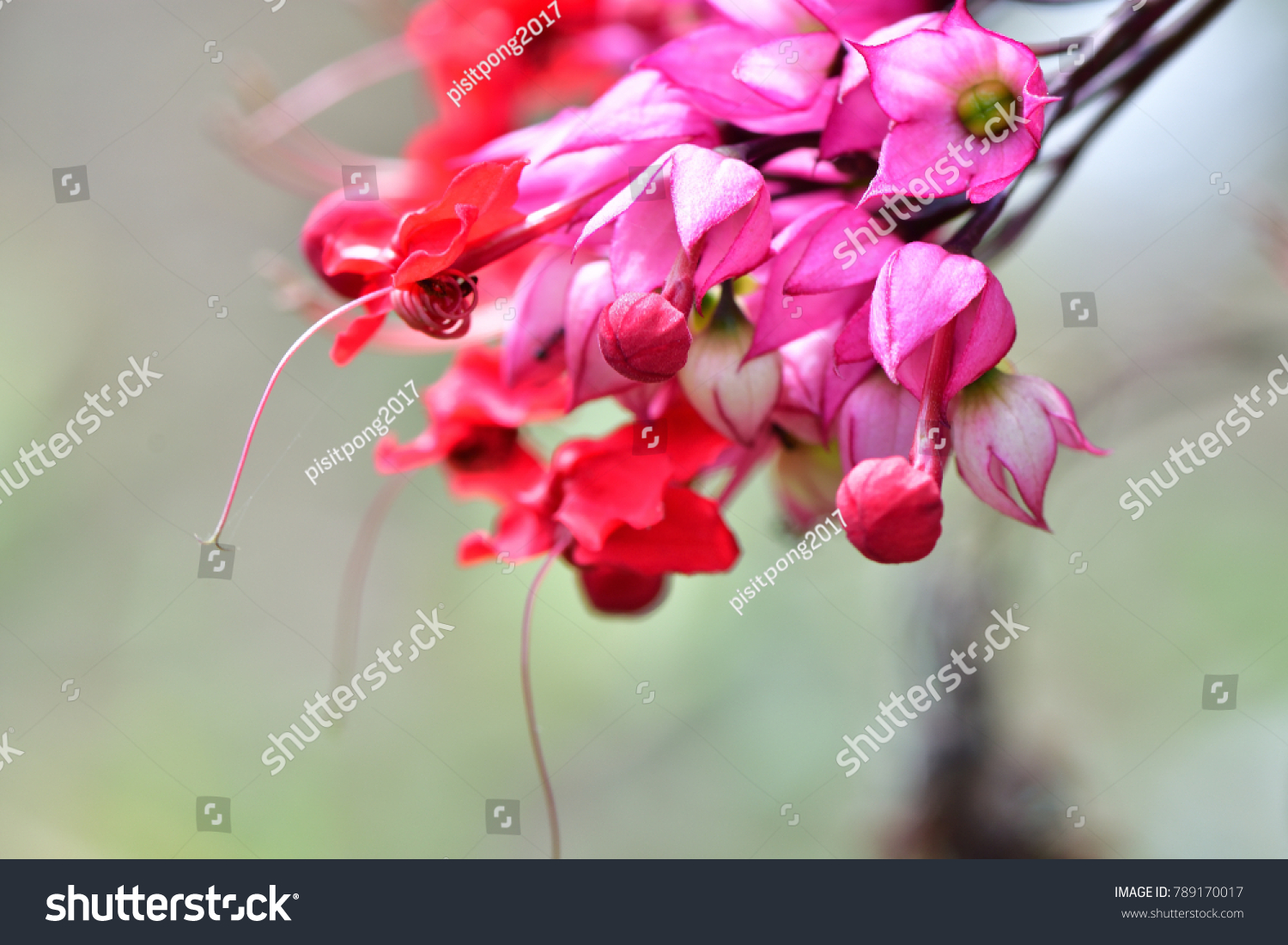 Clerodendrum x speciosum java glory bean stock photo download now clerodendrum x speciosum java glory bean red bleeding heart vine glory bowers izmirmasajfo