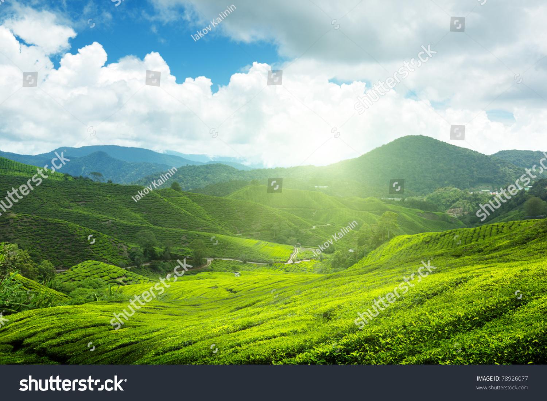 Tea Plantation Cameron Highlands, Malaysia Stock Photo ...