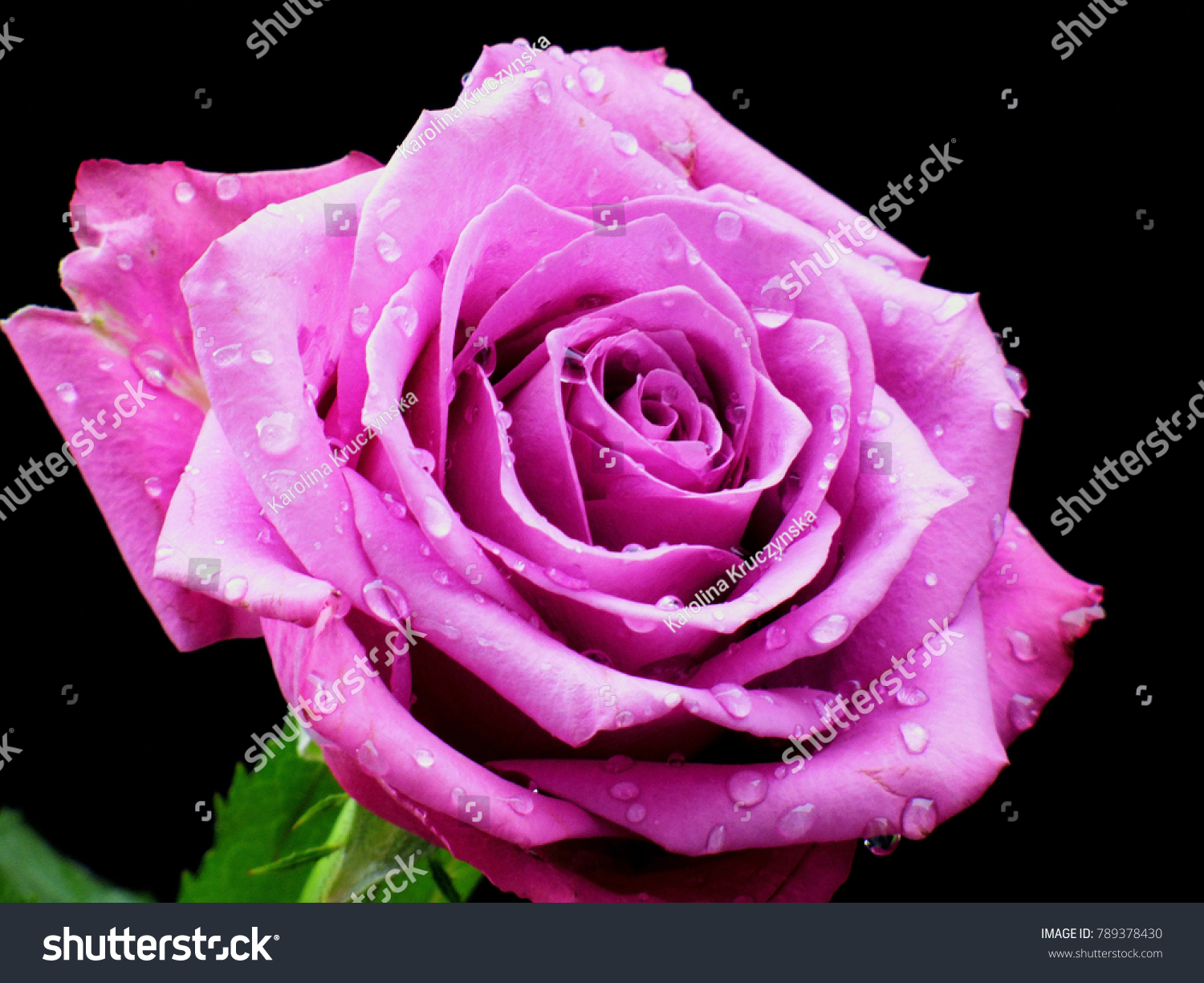Single flower beautiful pink rose water stock photo edit now single flower beautiful pink rose with water drops on the black background closeup izmirmasajfo