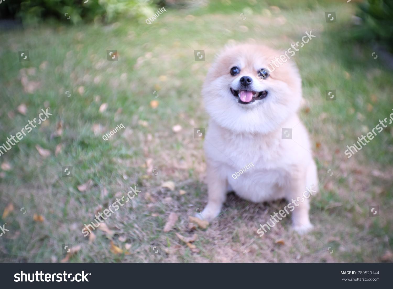 Light Brown Color Pomeranian Dog Sit Stock Photo Edit Now