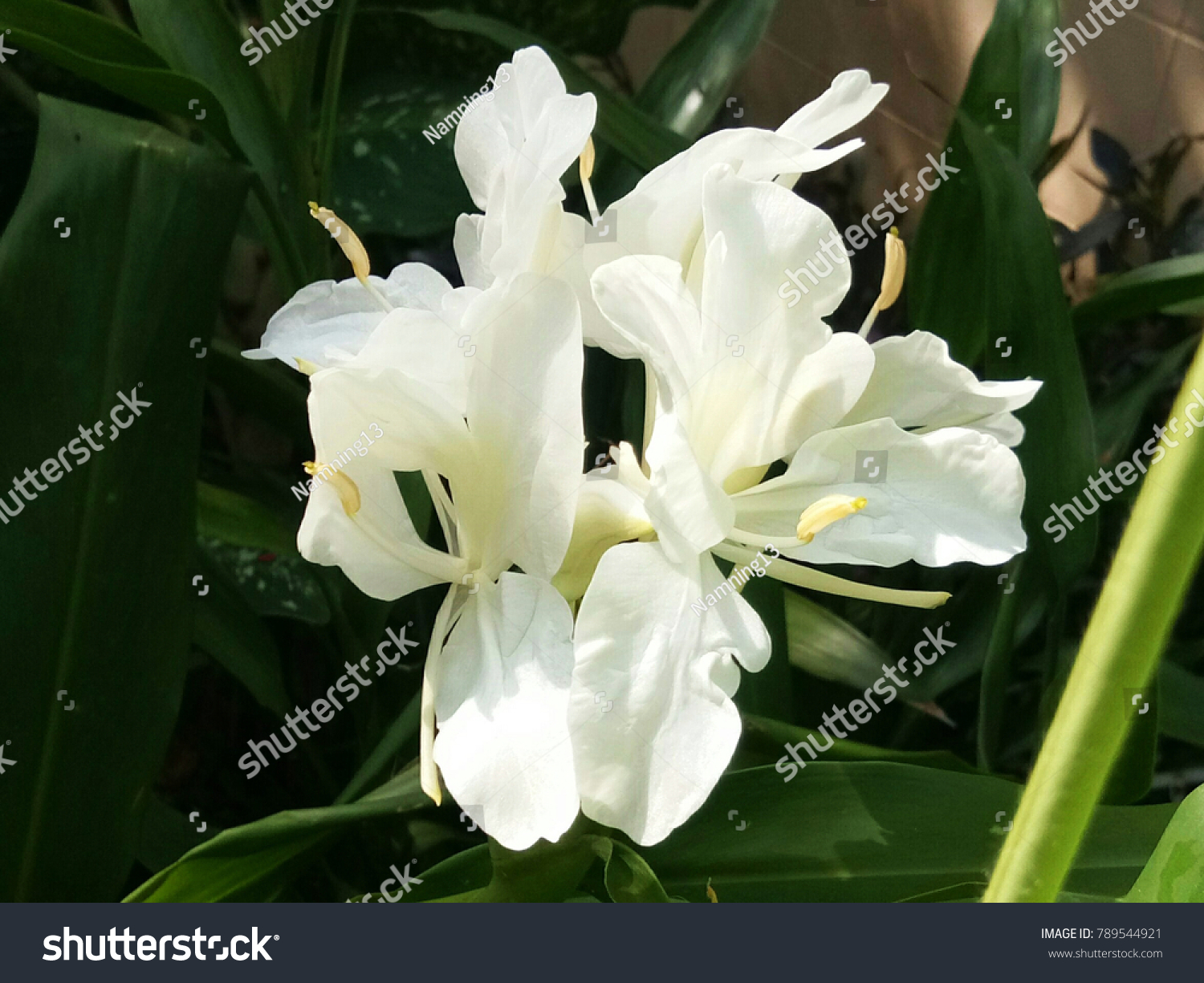 Iris florentina white flowered variant iris stock photo edit now iris florentina is the white flowered variant of iris germanica now classified as iris germanica nothovar izmirmasajfo