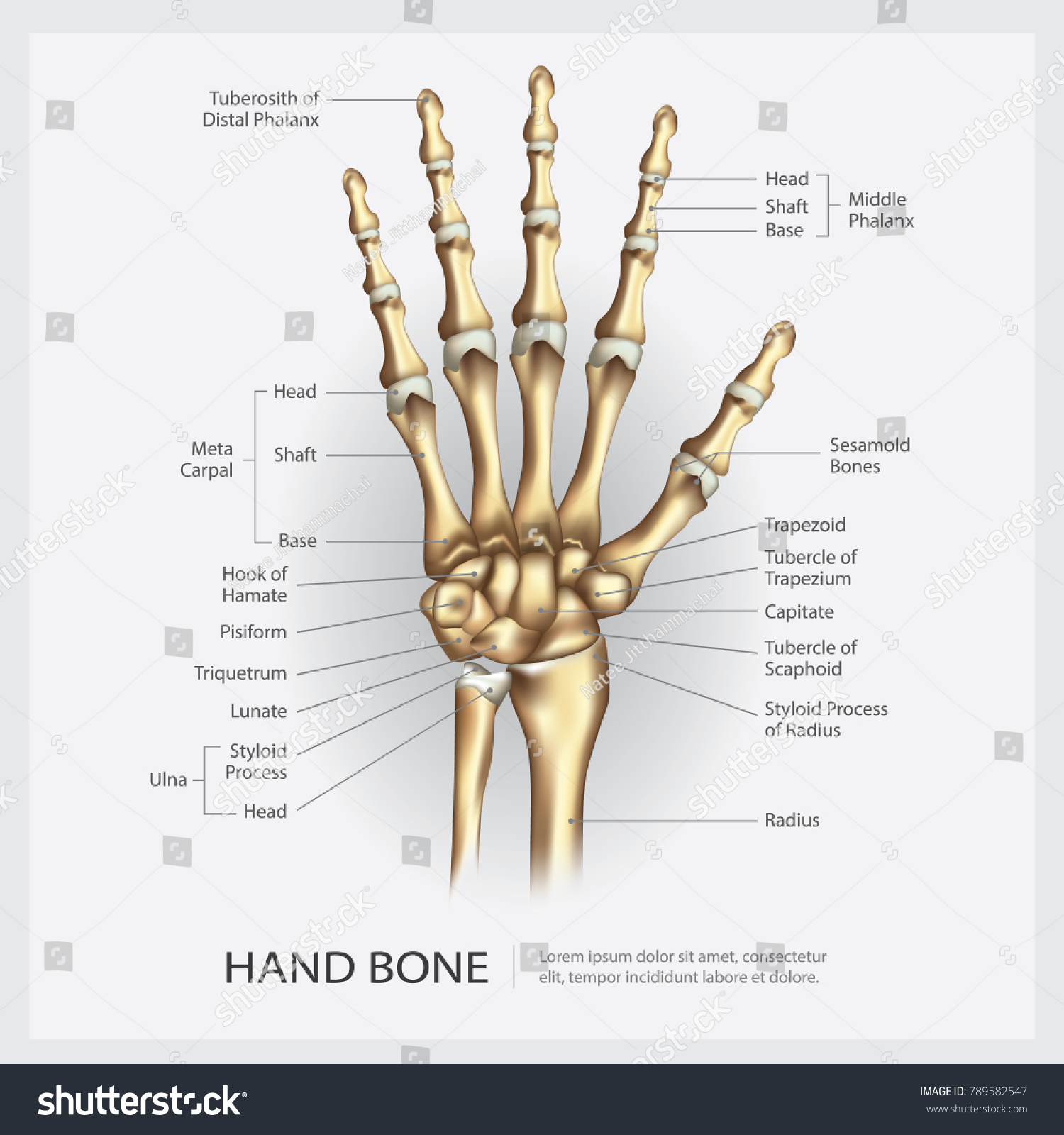 Hand Bone Detail Vector Illustration Stock Vector 789582547 ...