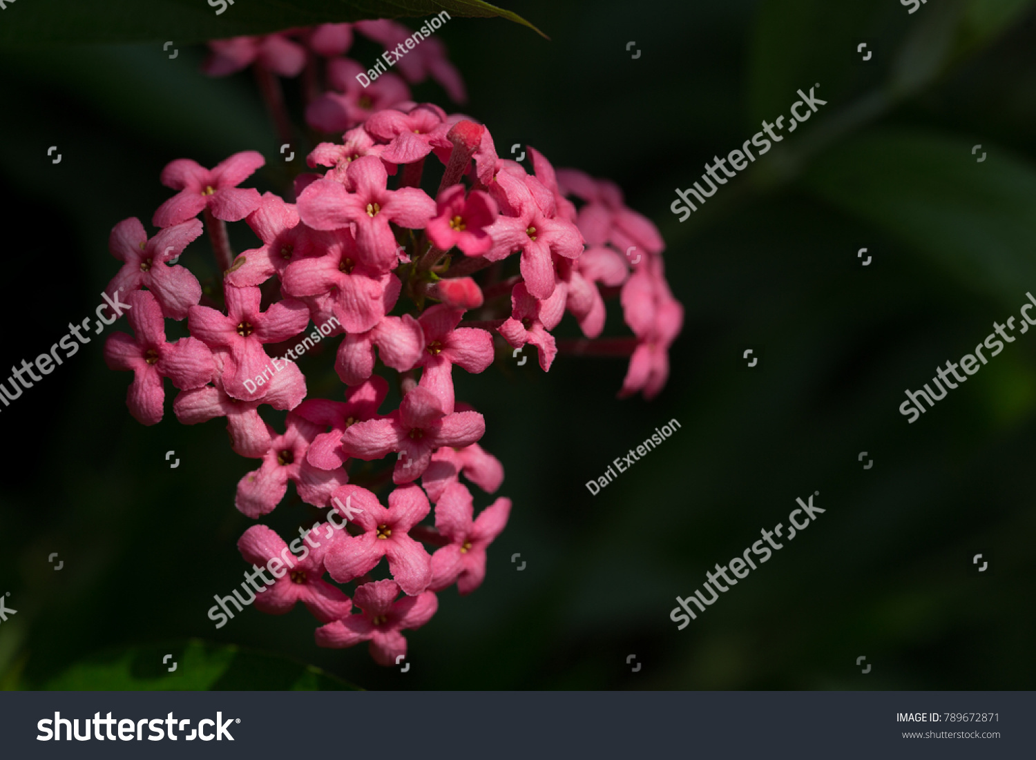 Pink Flowers Black Background Stock Photo Edit Now 789672871