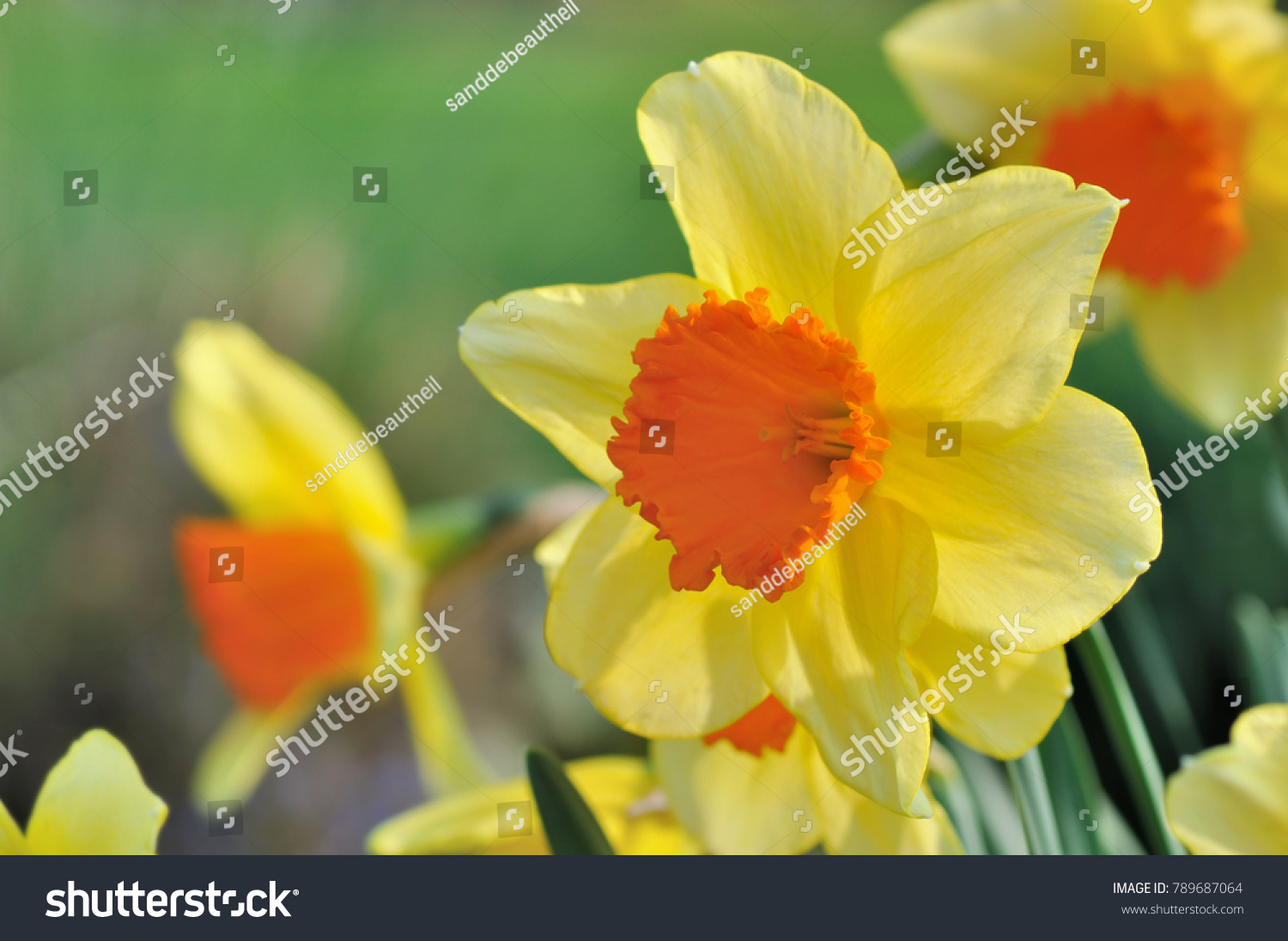 Close On Yellow And Orange Large Daffodil In A Garden Ez Canvas