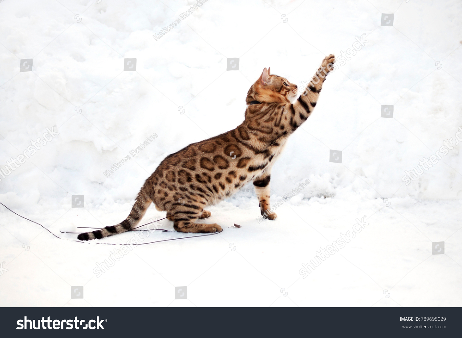 Adult Bengal Cat On Snow Background Stock Photo 789695029 ...