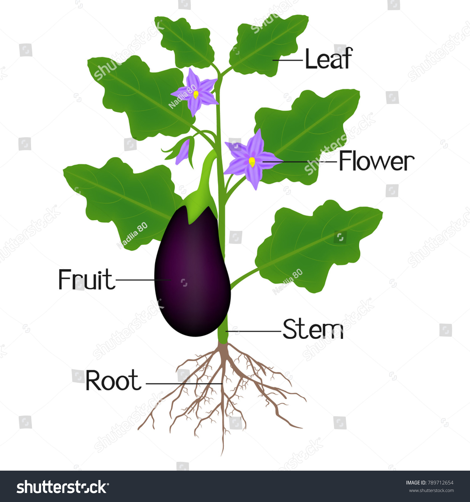 Illustration Showing Parts Aubergine Plant Stock Vector Royalty
