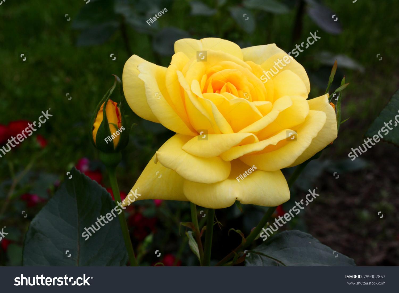 Yellow roses meaning bright cheerful joyful stock photo royalty yellow roses meaning bright cheerful and joyful create warm feelings and provide happiness they mightylinksfo