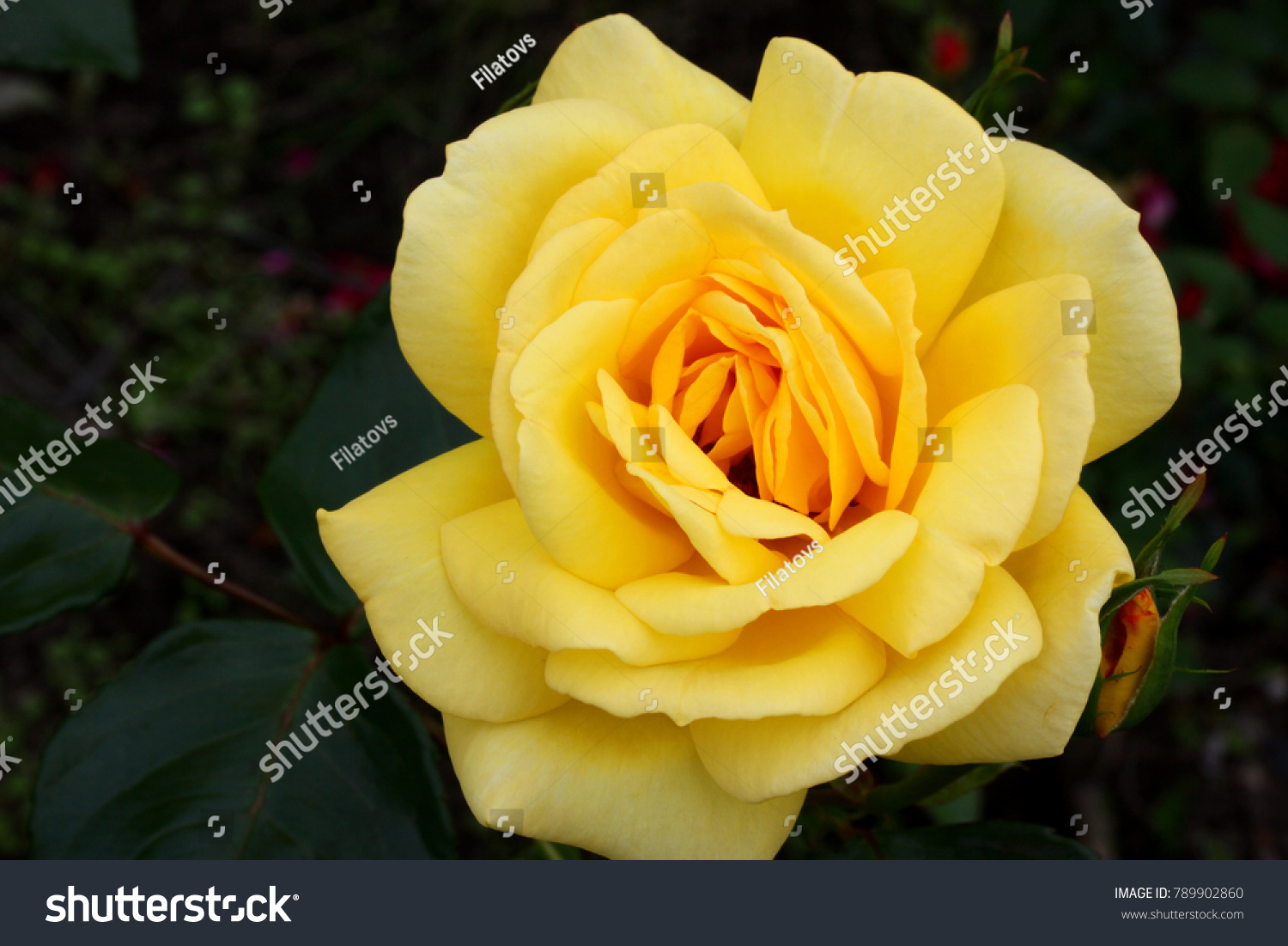 Yellow Roses Meaning Bright Cheerful Joyful Stock Photo Edit Now