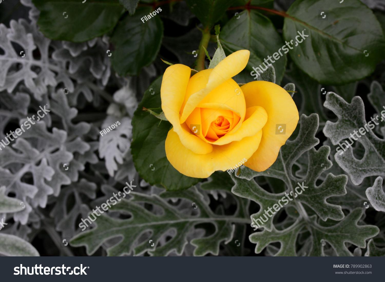 Yellow Roses Meaning Bright Cheerful Joyful Stock Photo Royalty