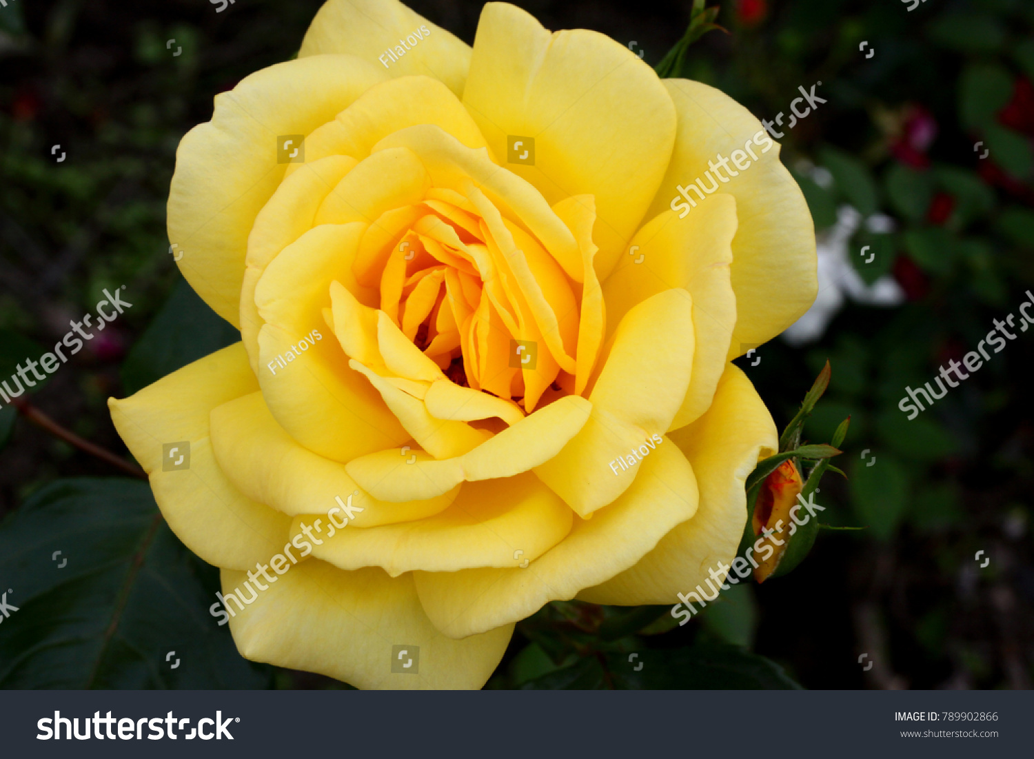 Yellow roses meaning bright cheerful joyful stock photo royalty yellow roses meaning bright cheerful and joyful create warm feelings and provide happiness they mightylinksfo