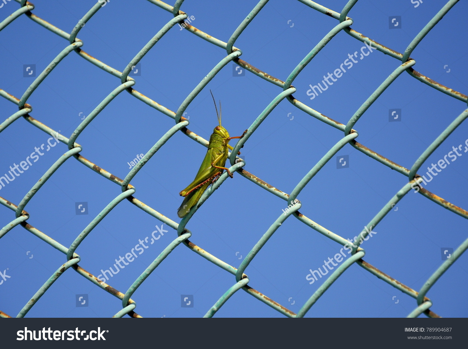Grasshopper On Wire Net Fence Stock Photo (Edit Now) 789904687 ...