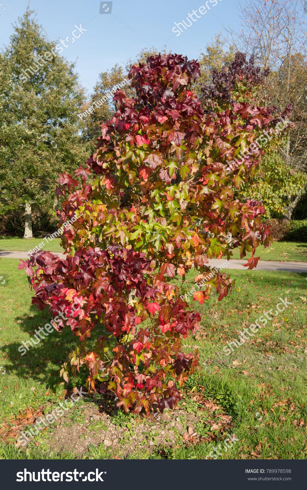 American Sweet Gum Tree Liquidambar Styraciflua Stock Photo (Edit ...