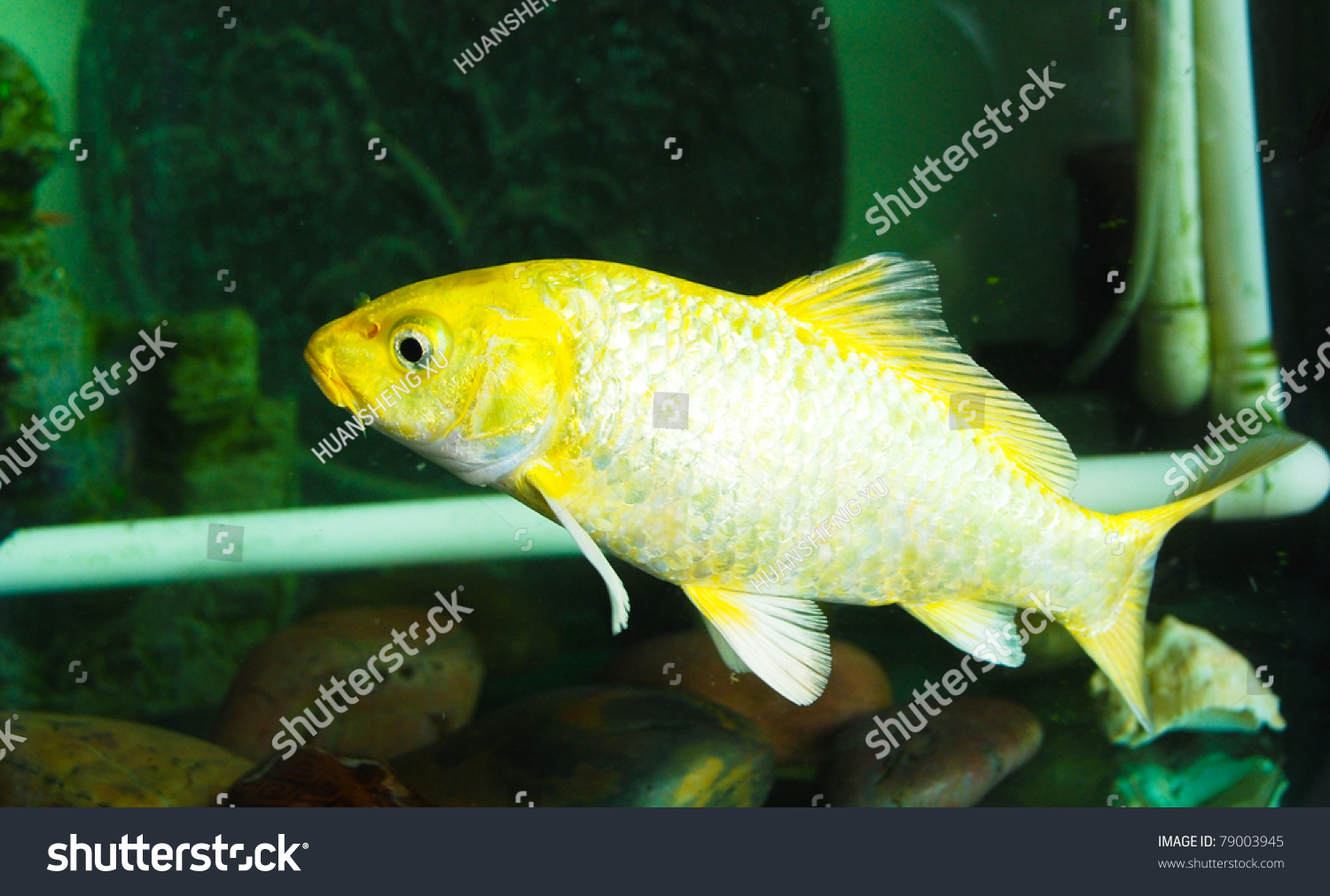 A yellow carp in a fish tank stock photo 79003945 for Carp in a fish tank