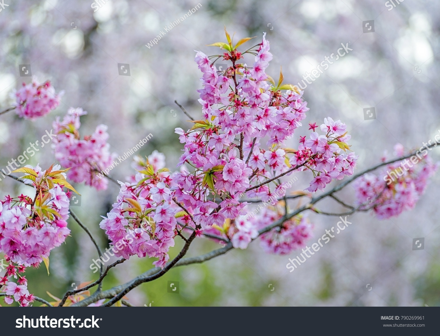 Cherry Blossom Flowers In Spring Season At Japan Ez Canvas