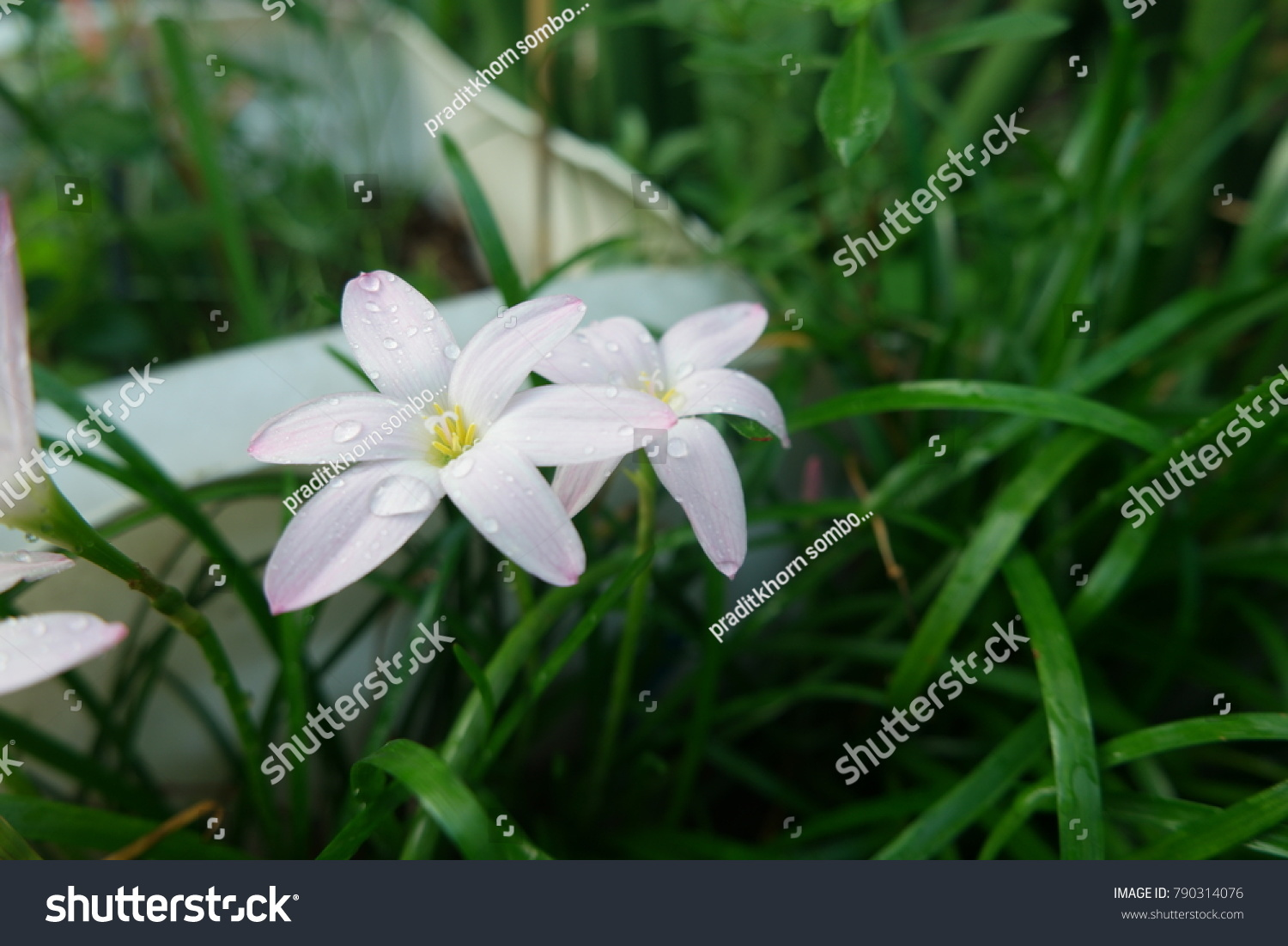 Rain Lily Flower Blooming Nature Garden Stock Photo Royalty Free