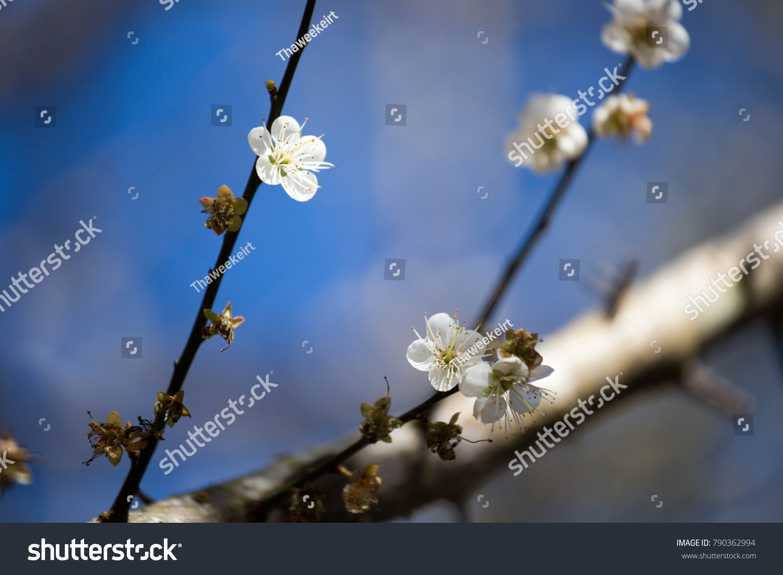 White Plum Blossom On Tree Beautiful Stock Photo Royalty Free