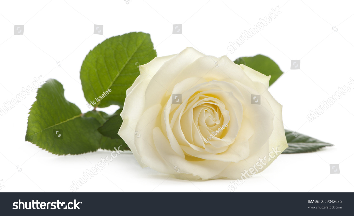 Single White Rose Clip Art