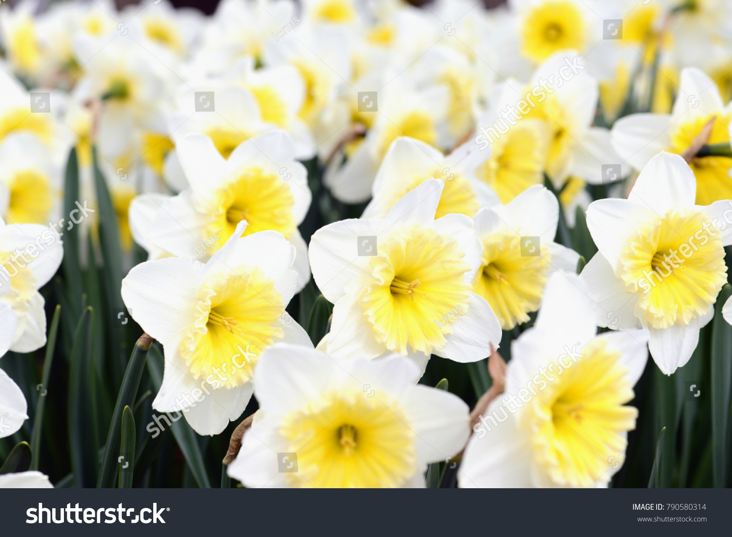 Group Of White Daffodil With Central Yellow Corona In Flowerbed