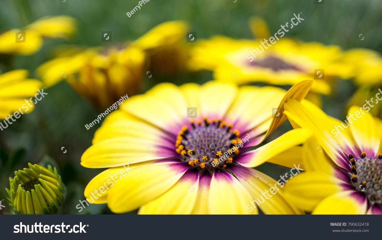 Yellow Flower Purple Center Blue Eyed Stock Photo Edit Now