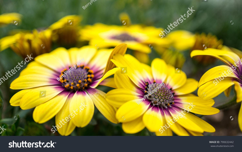 Yellow Flower Purple Center Blue Eyed Stock Photo Royalty Free