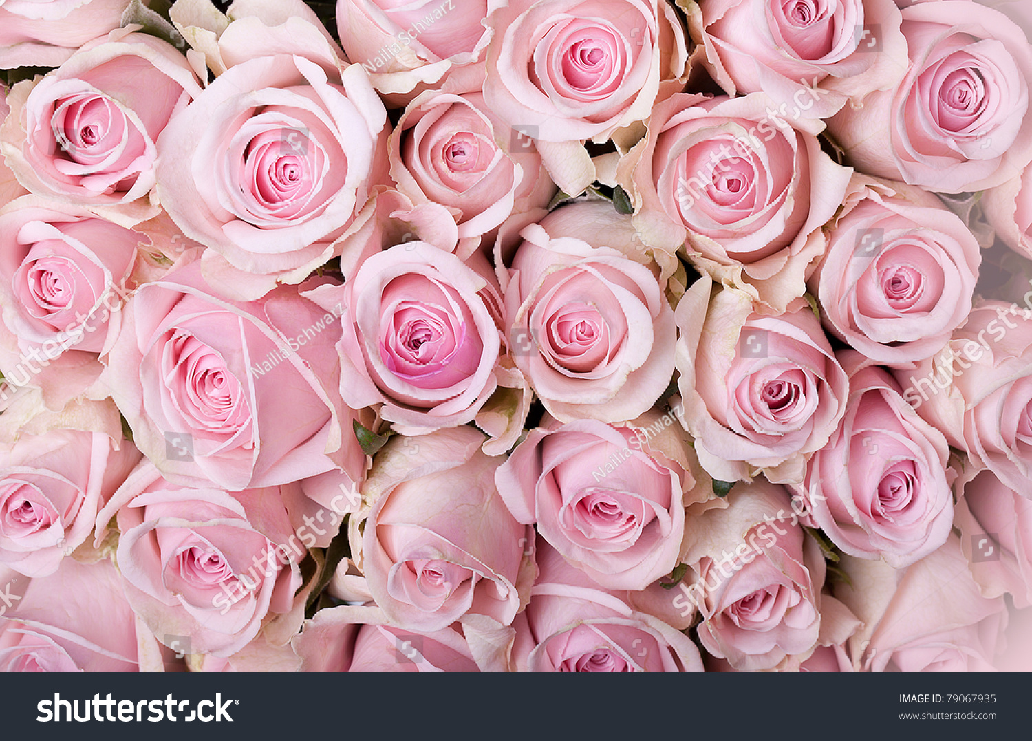 closeup many pastel colored pink roses stock photo 79067935 shutterstock. Black Bedroom Furniture Sets. Home Design Ideas