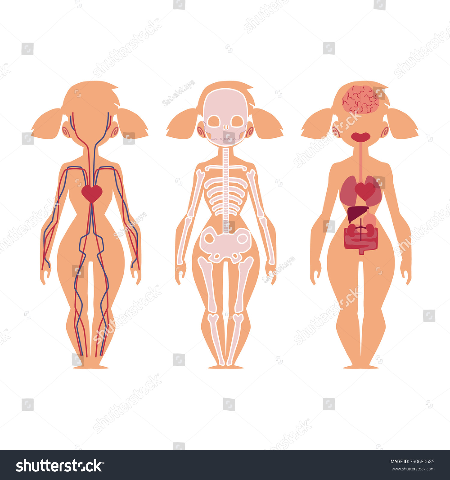Vector Flat Structure Human Body Anatomy Stock Vector 790680685 ...