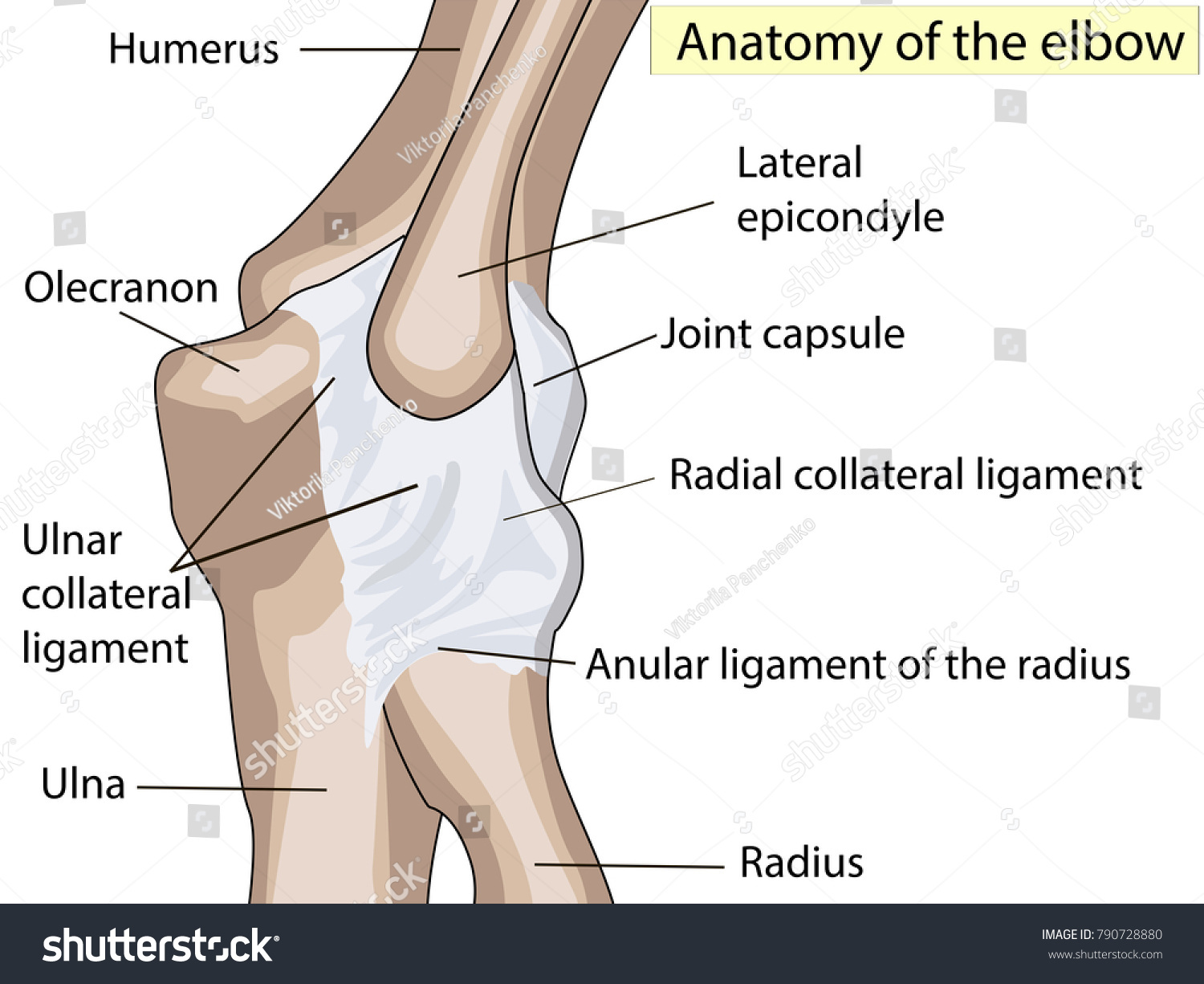 Anatomical Design Posterior Radial Collateral Ligament
