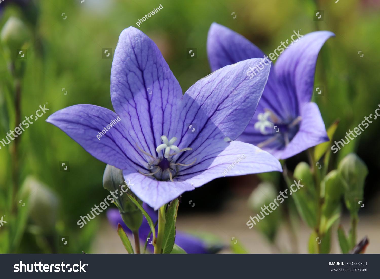 Blooming Cultivar Balloon Flower Platycodon Grandiflorus Blue In