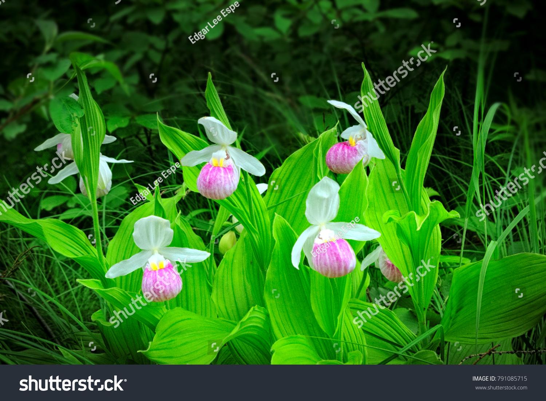 Beautiful Showy Ladysslipper Cypripedium Reginae Aka Stock Photo