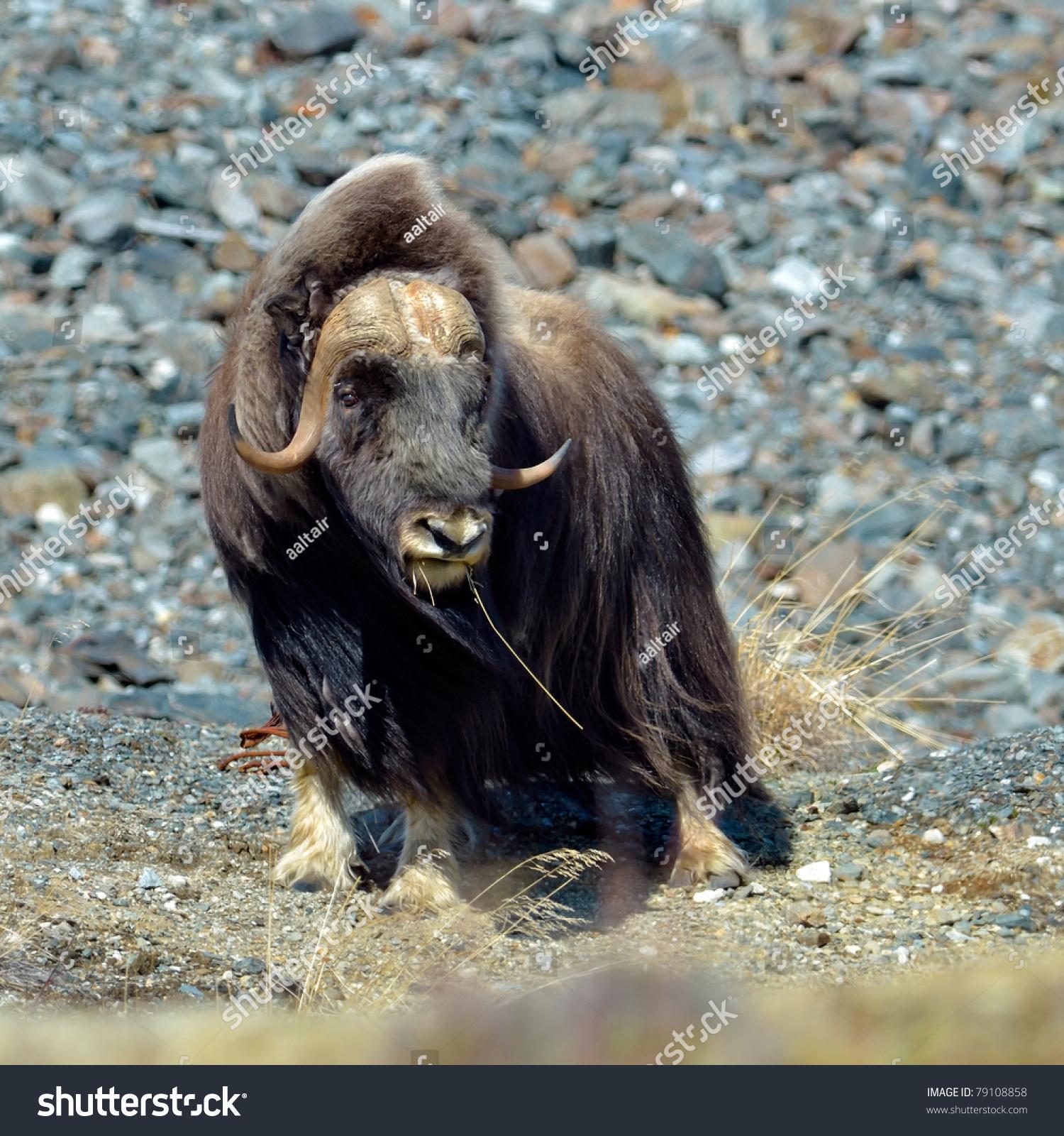 Musk Ox Ovibos Moschatus Natural Habitat Stock Photo