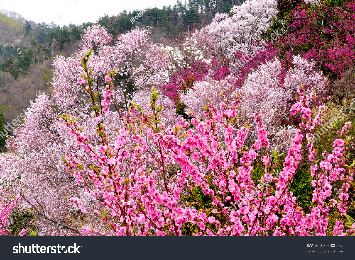 Beautiful View Of Multicolor Flowering Trees At Hanamiyama Mountain