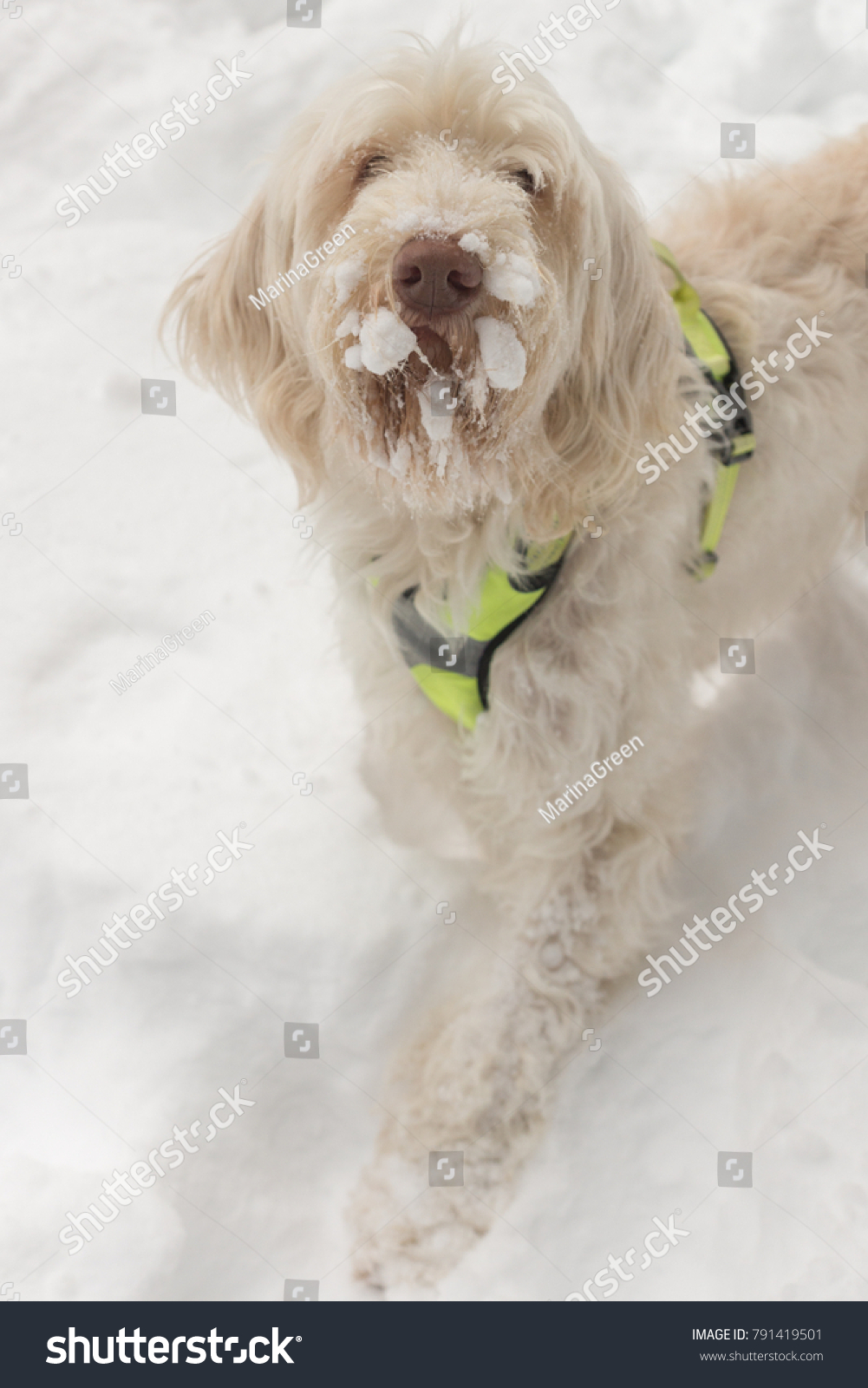 Funny Looking White Wirehaired Dog Spinone Stock Photo (Edit Now ...
