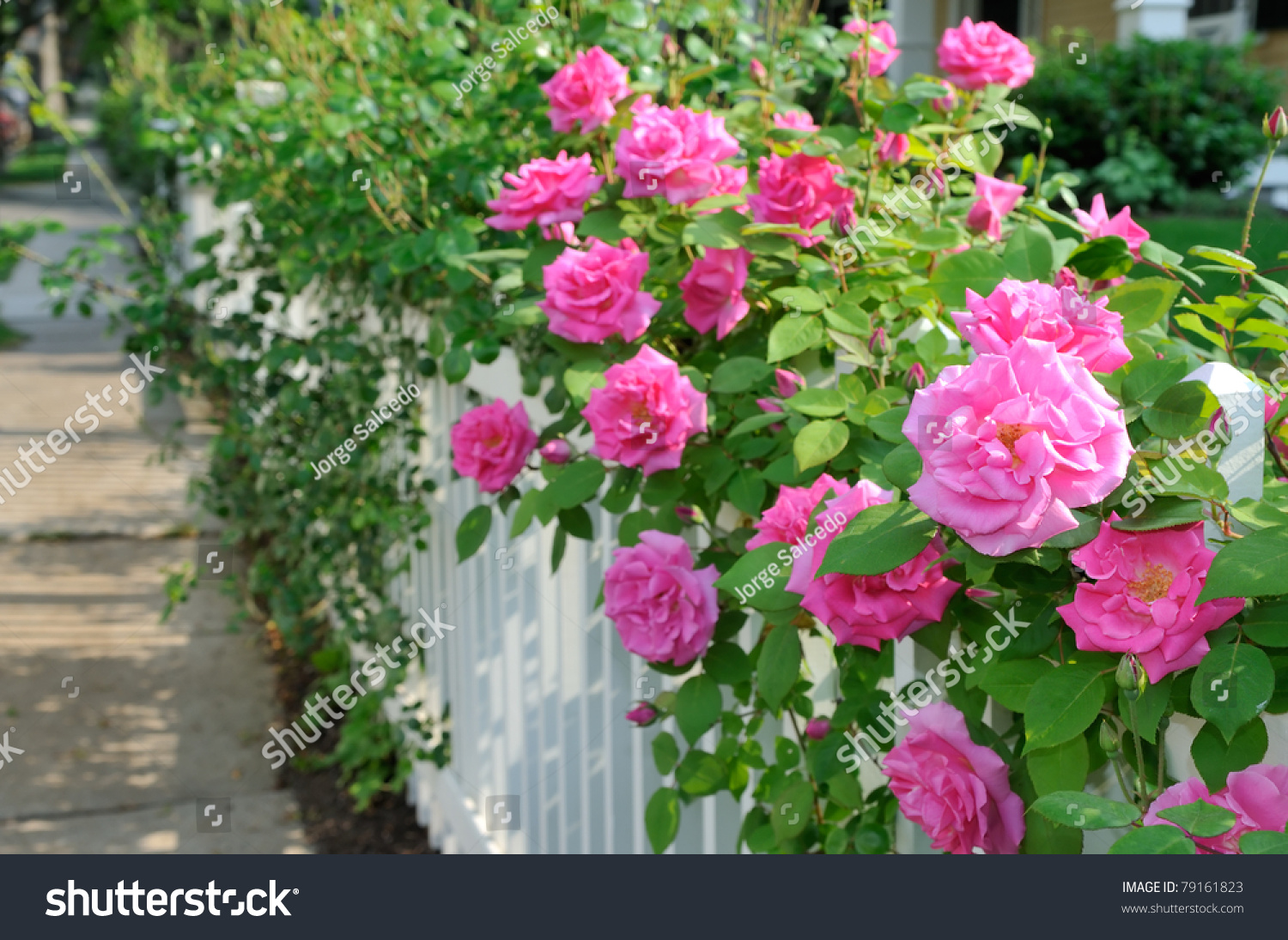Climbing Pink Roses On White Fence Stock Photo 79161823