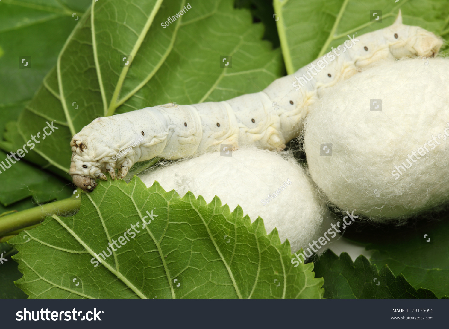 how to get silk of out silk worms