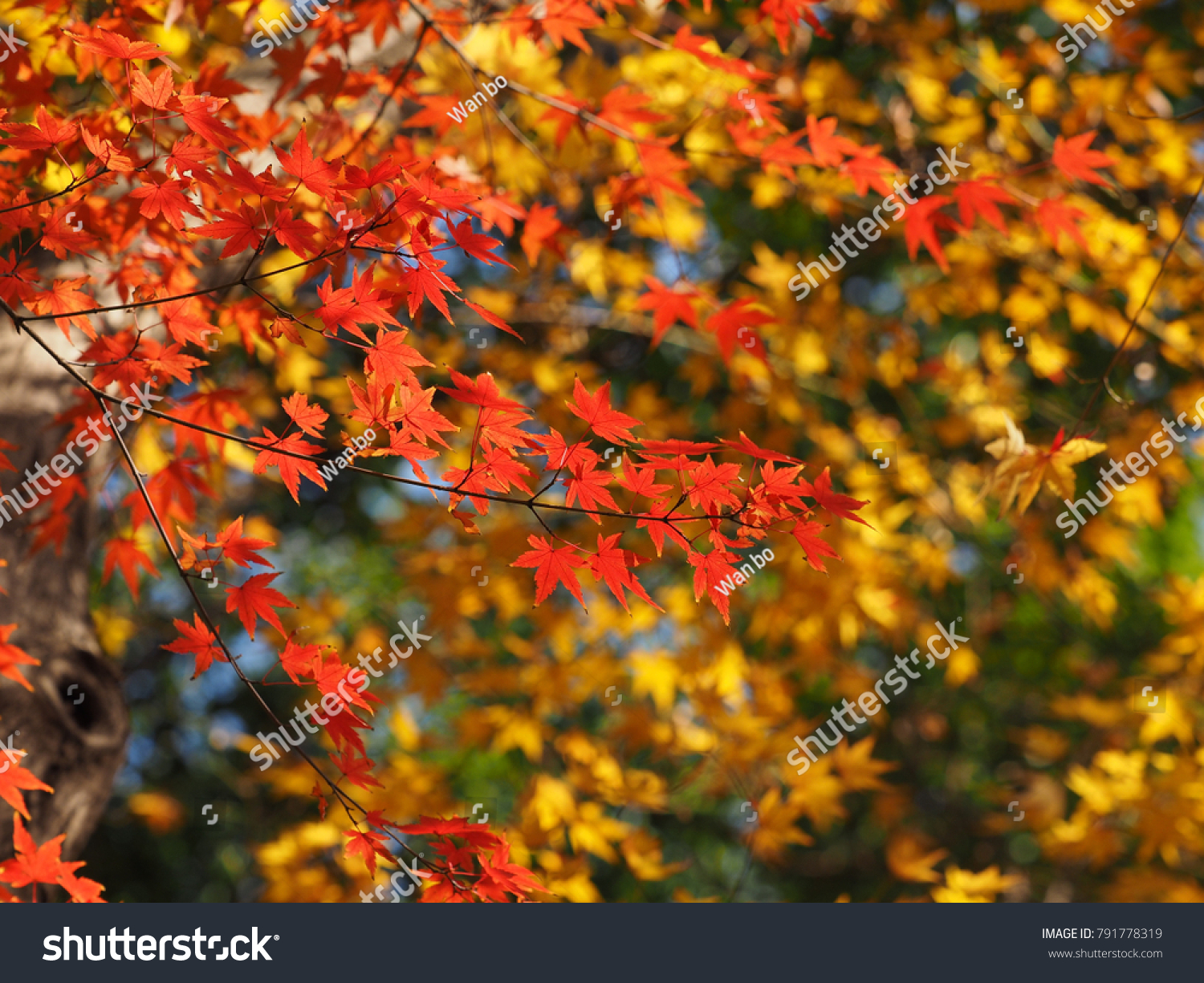 The beautiful maple autumn leaves in the Chinese classical garden ...