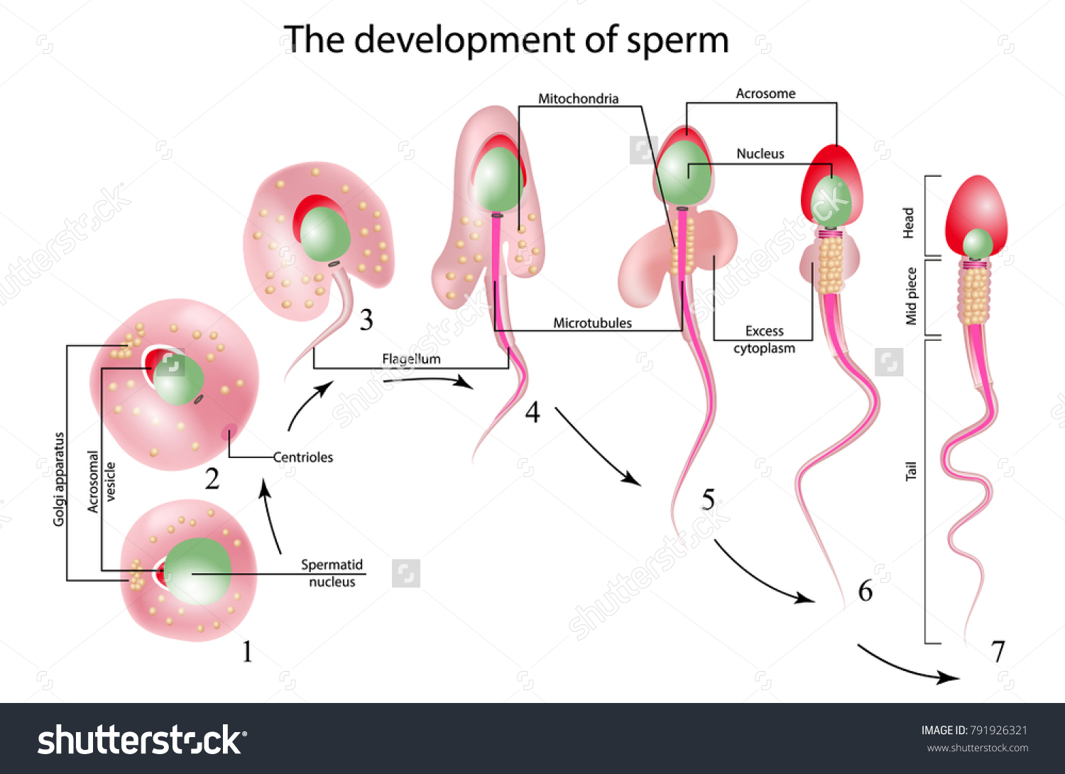 Development Sperm Human Sperm Cell Anatomy Stock Vector 791926321 ...