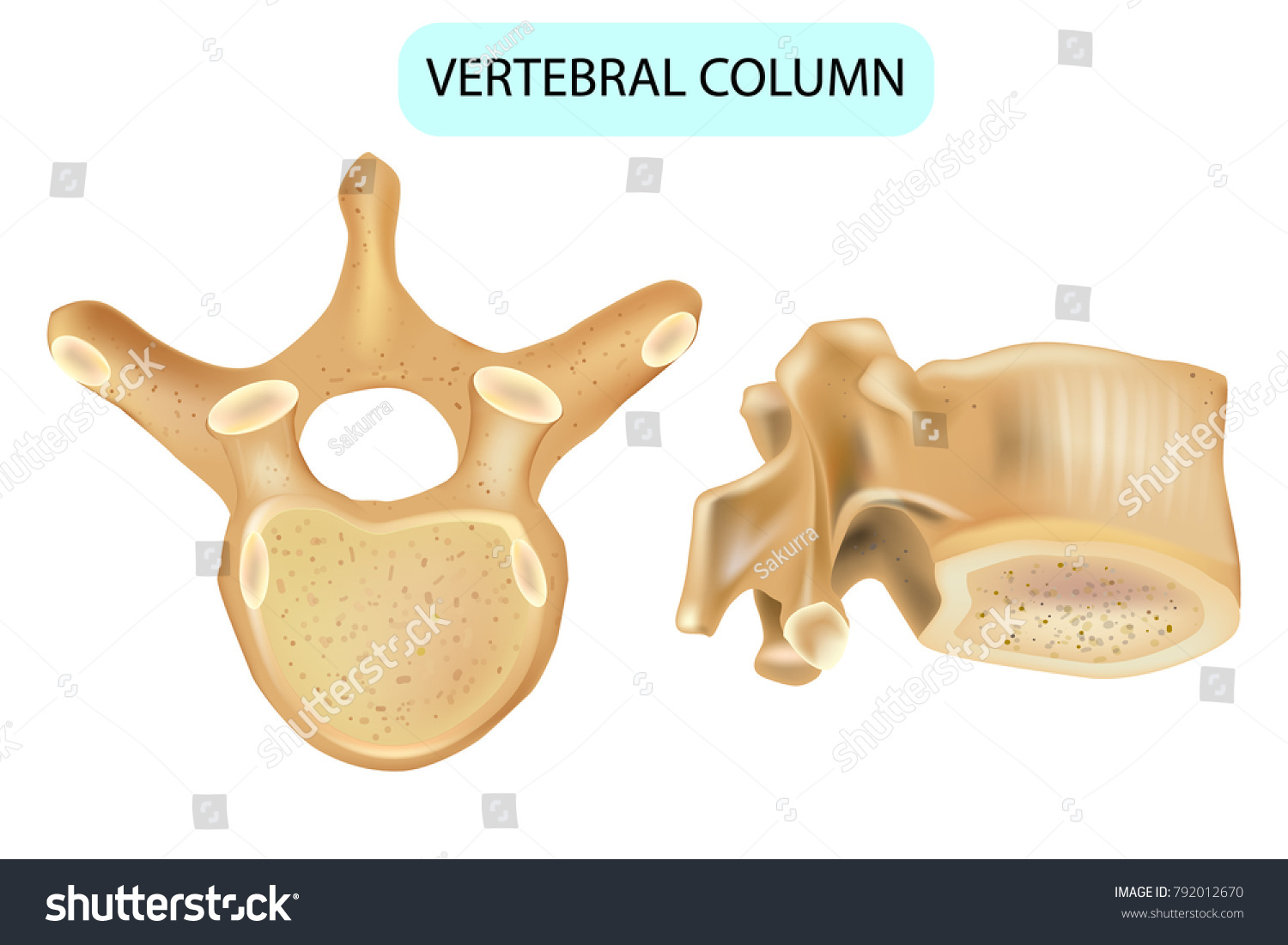 Anatomy Vertebra Vertebral Column Human Spine Stock Vector Royalty