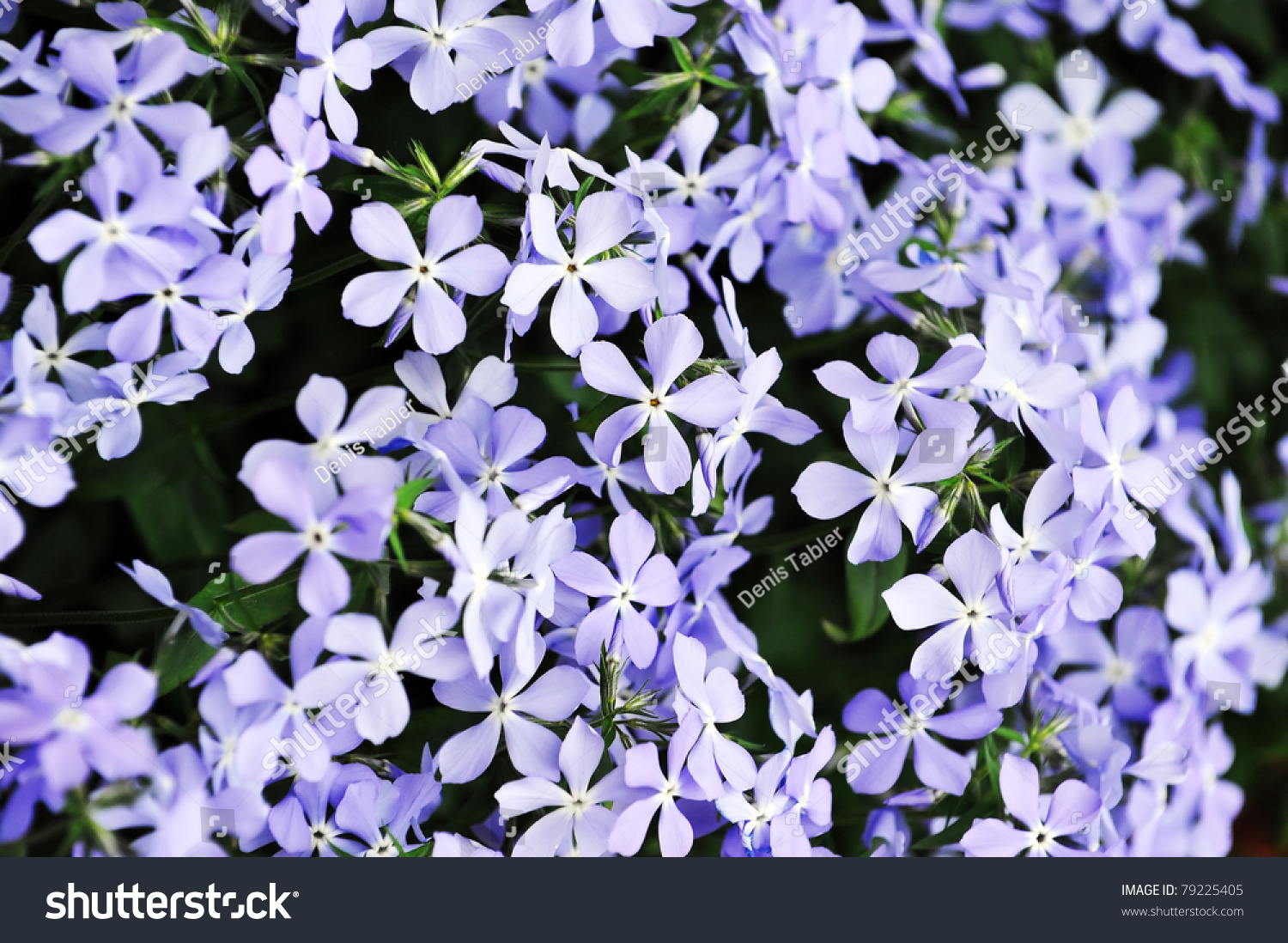 Small Purple Flowers Bloom Late Spring Stock Photo Edit Now
