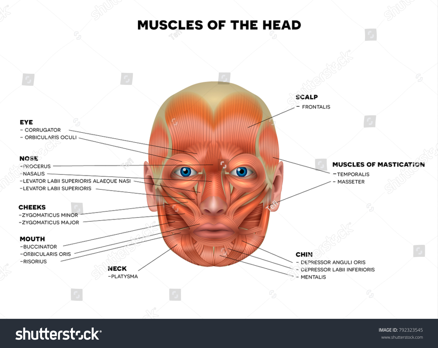 Muscles Face Name Each Muscle Detailed Stock Illustration 792323545 ...