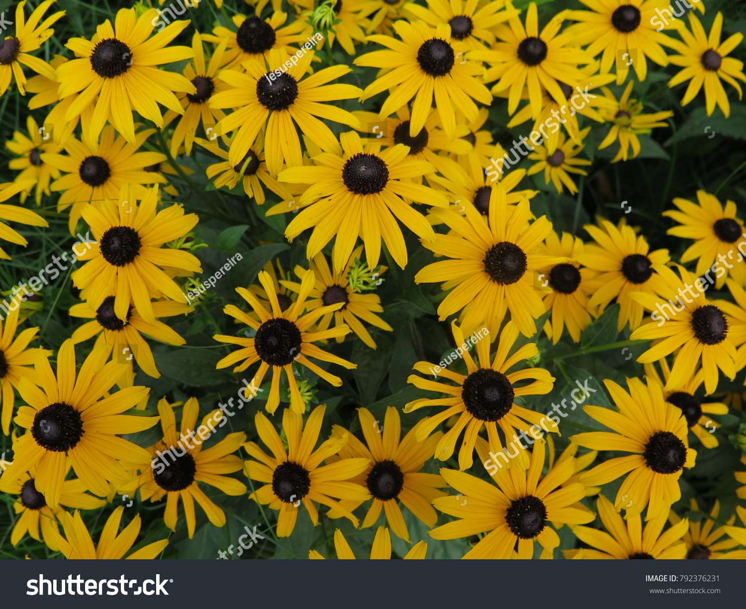 Crowded Field Black Eyed Susan Yellow Flowers Stock Photo Edit Now