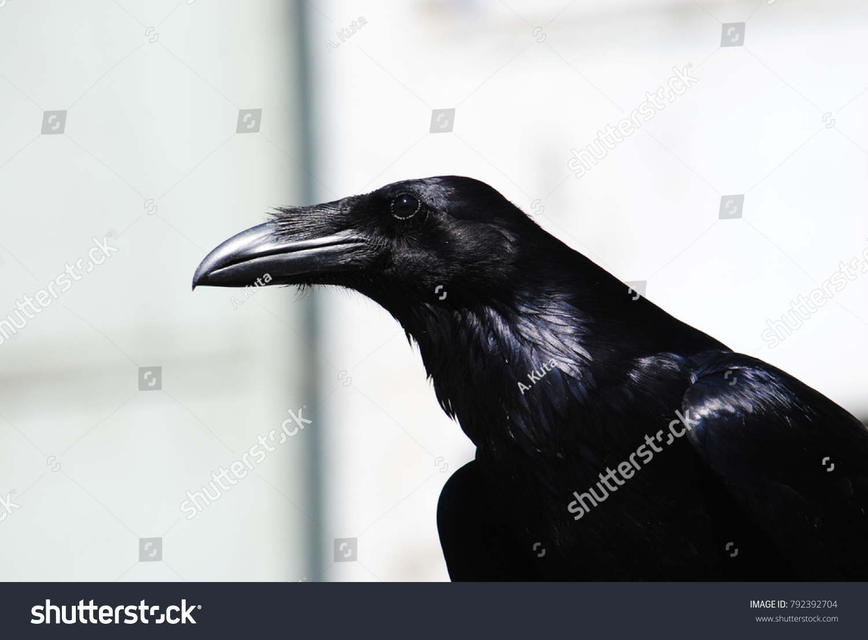 Alaskan Raven Symbol Tlingit Tribe Stock Photo Edit Now 792392704
