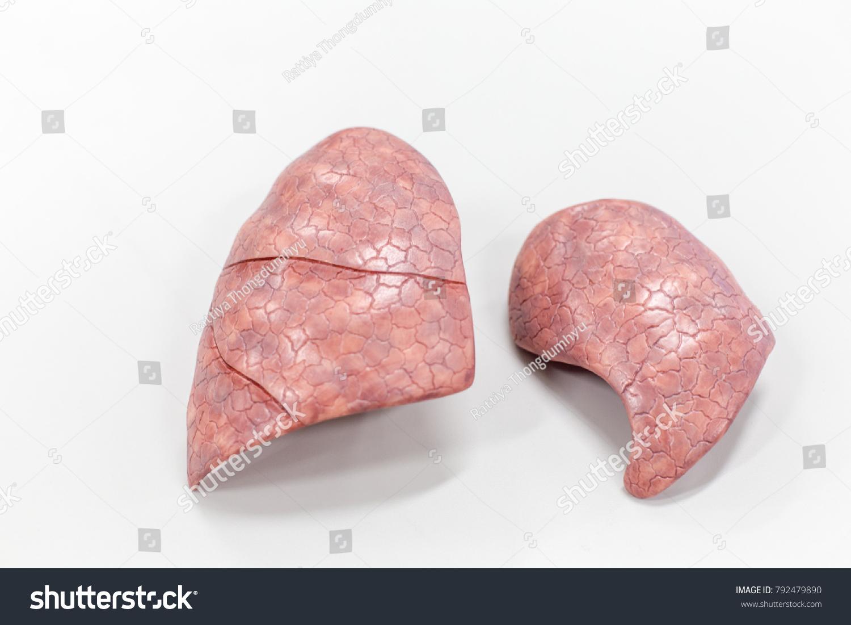 Human Lung Anatomy Model Education Lab Stock Photo Royalty Free