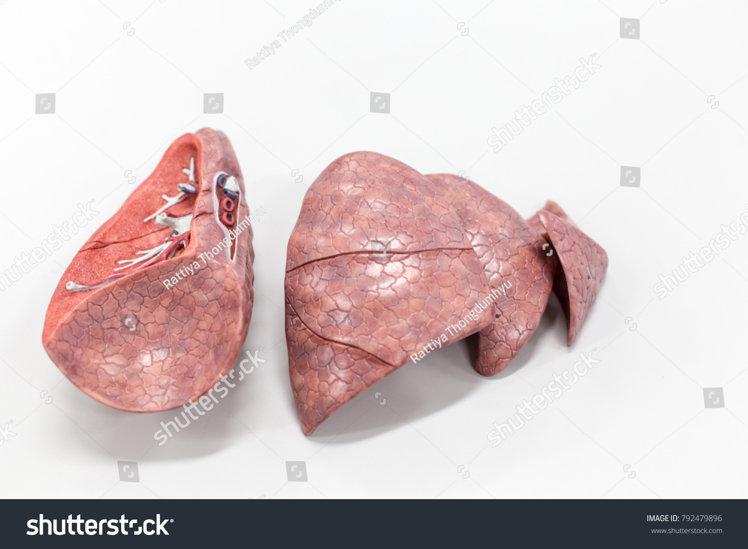 Human Lung Anatomy Model Education Lab Stock Photo Edit Now