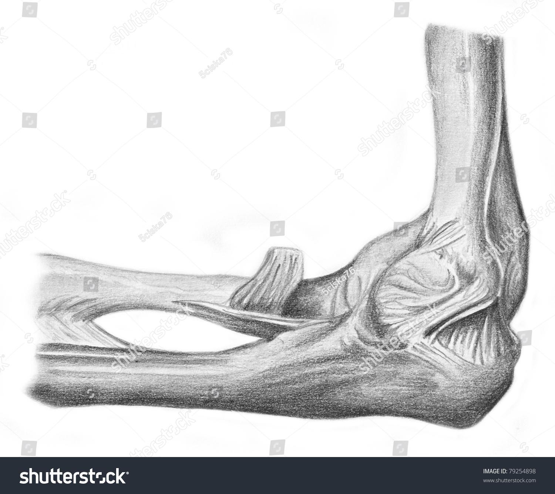 Royalty Free Stock Illustration Of Human Anatomy Articulation Elbow